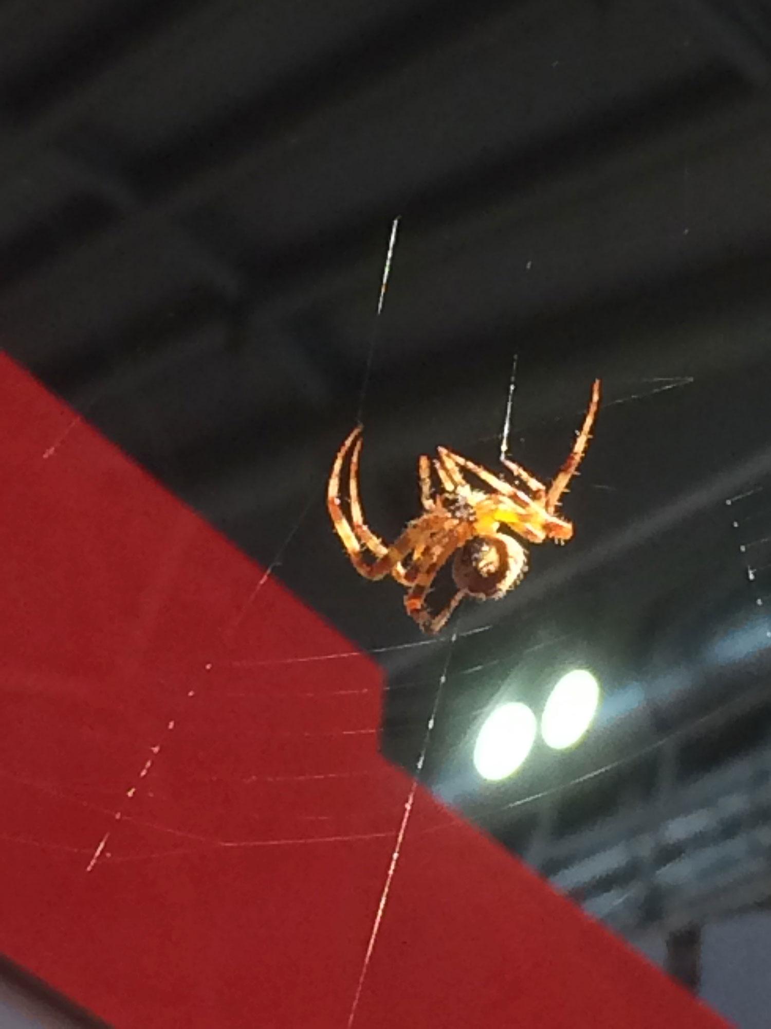 Dieses Foto zeigt ein gold und braun Spinne, die ihr Spinnennetz vor einem Stand auf der Frankfurter Buchmesse 2019 spannte. Ihr Körper war bestimmt halb so groß wie mein Daumen. Ihre Beine waren gold und braun gestreift.